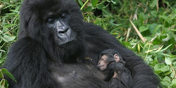 gorilla park denmark